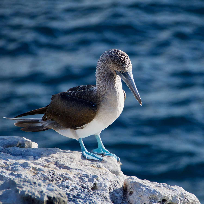 galapagos-blue_foot-1500