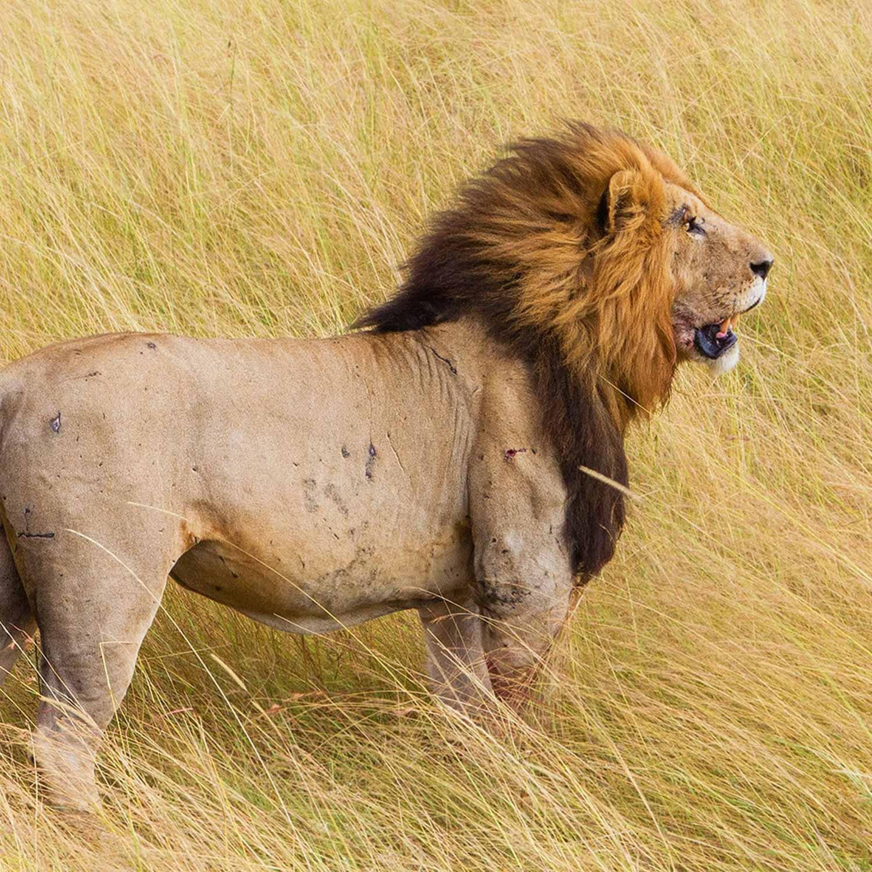 lion-1500