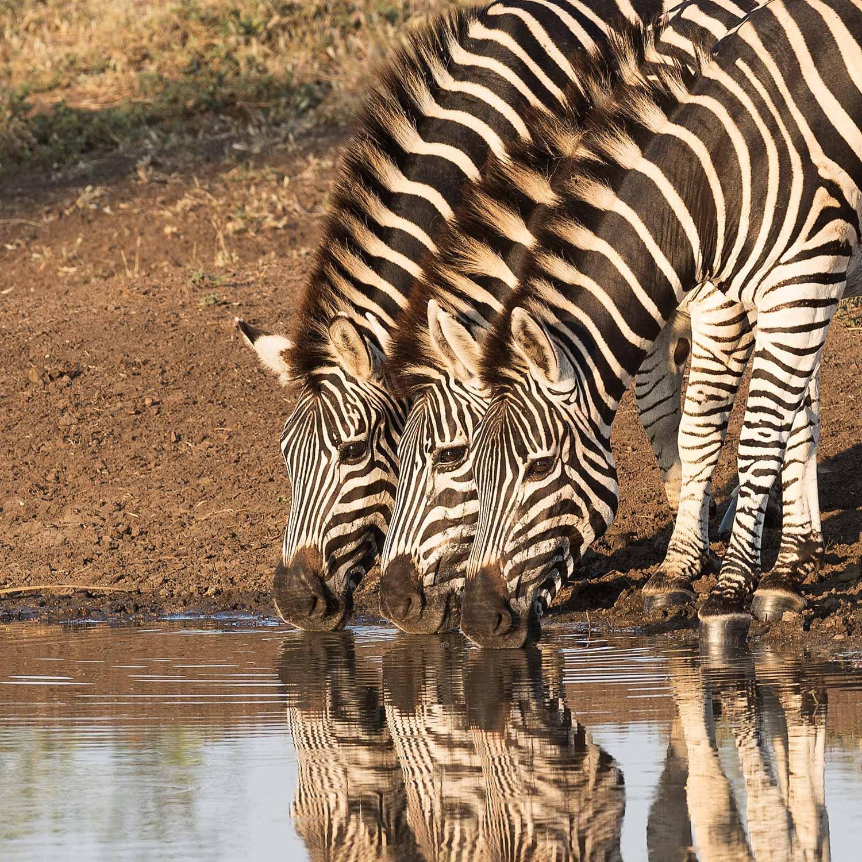 zebras-1500